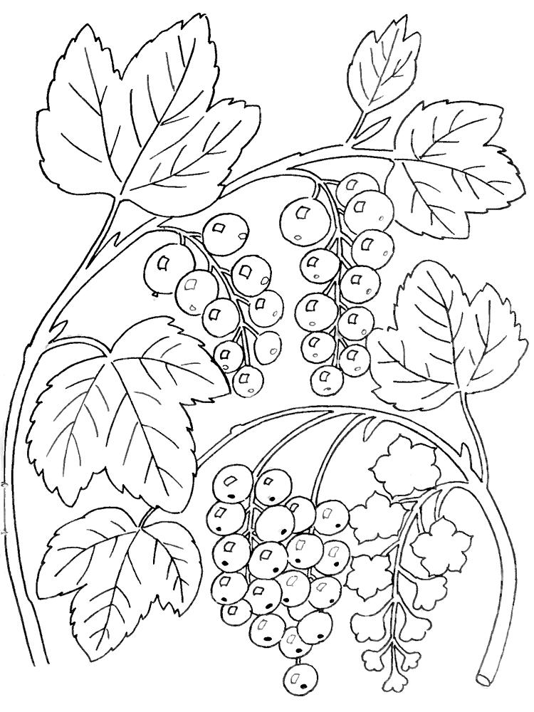 Смородина Раскраски Раскраски ягоды
