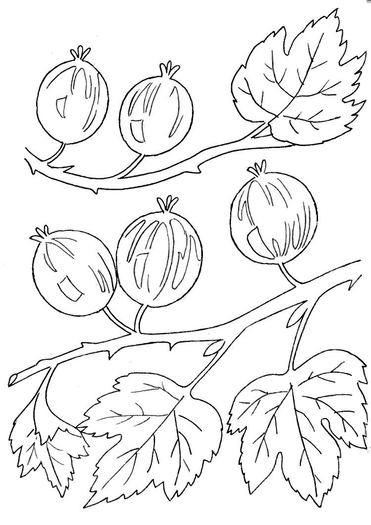 Крыжовник Раскраски Раскраски ягоды