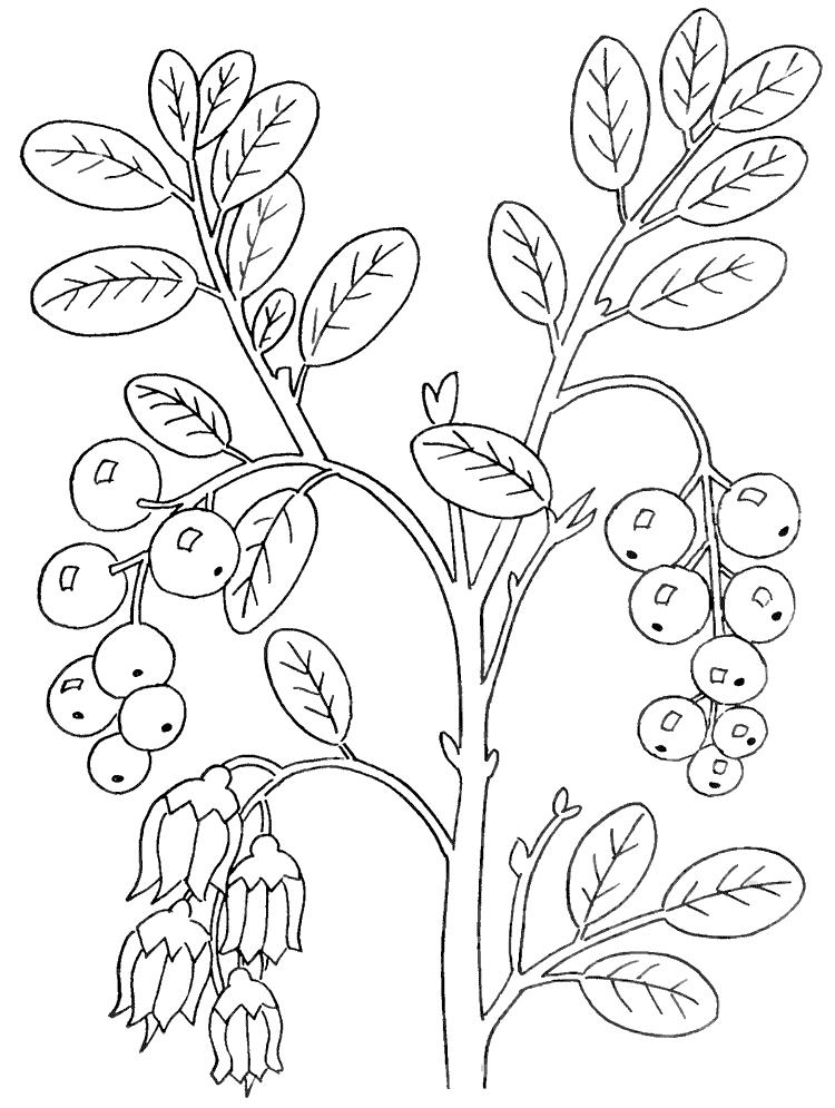 Брусника брусника черника
