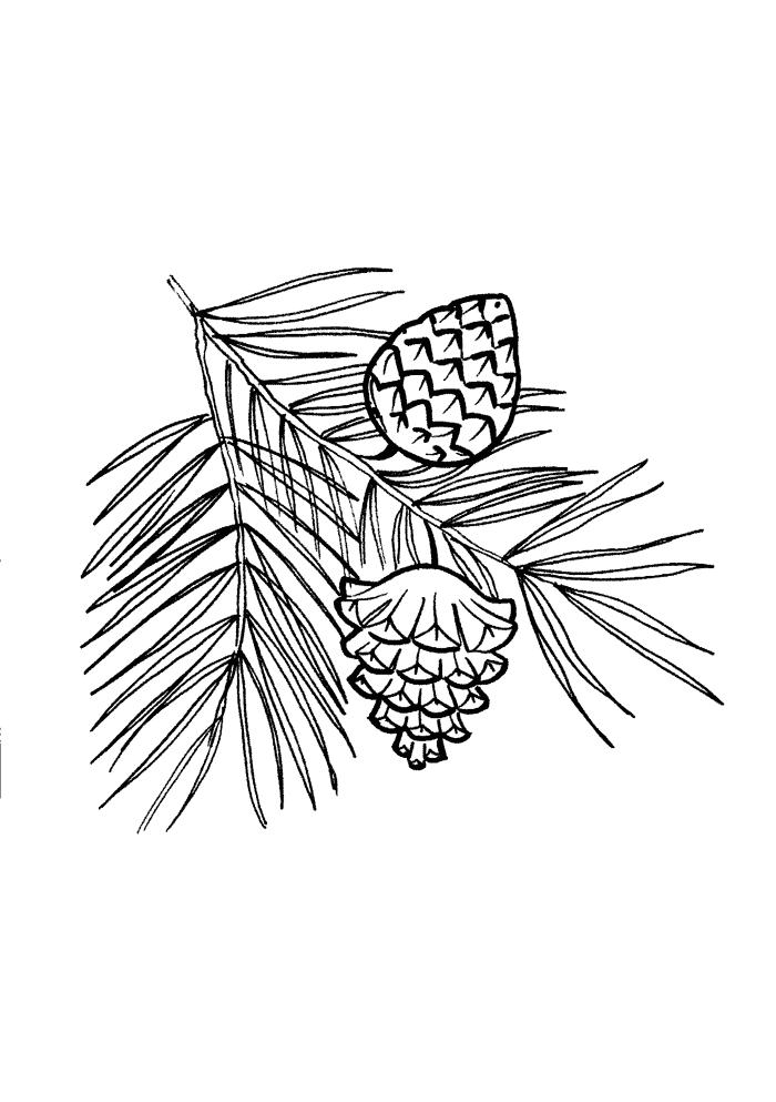 Сосновые иголки и шишки Раскраски листья деревьев