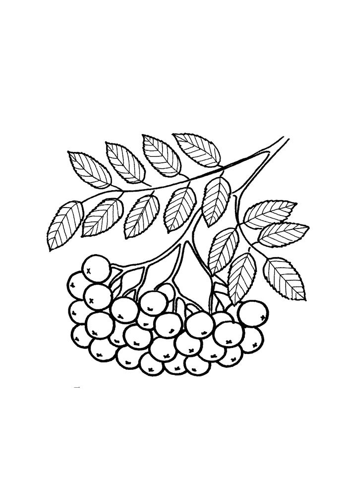 Рябина Раскраски листья деревьев