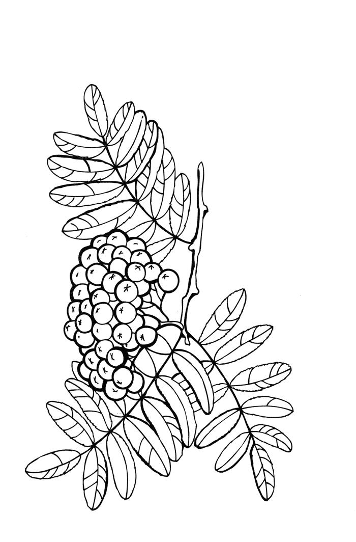 Рябина Раскраски Раскраски ягоды