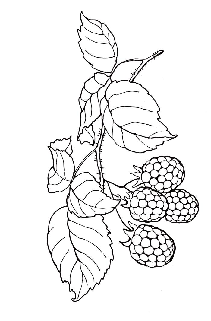 Раскраски Ягоды - Малина.  Print.