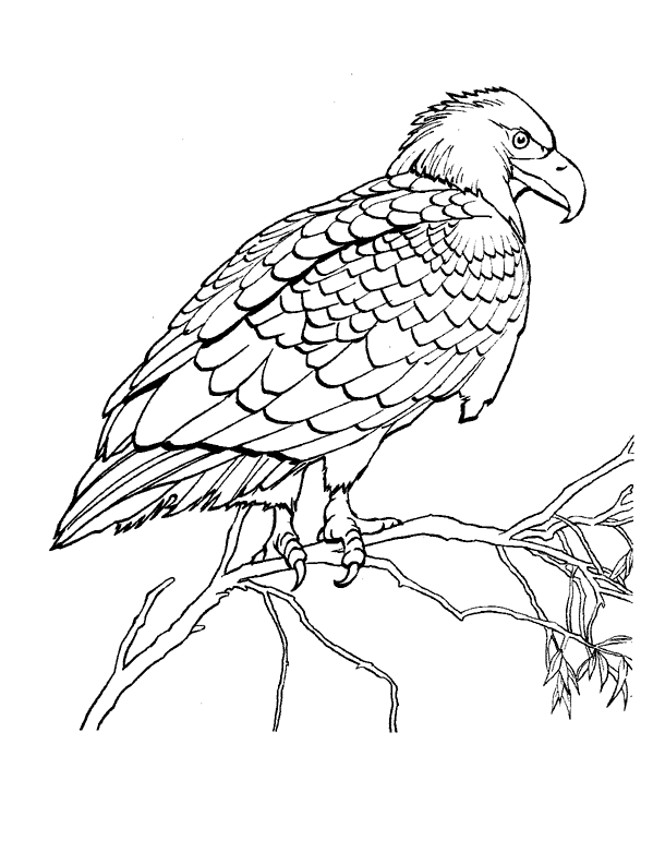 Coloring Pages Hawk